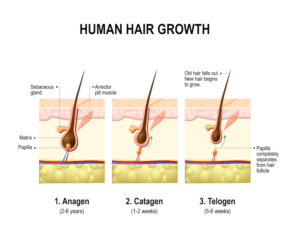 Phases of hair growth
